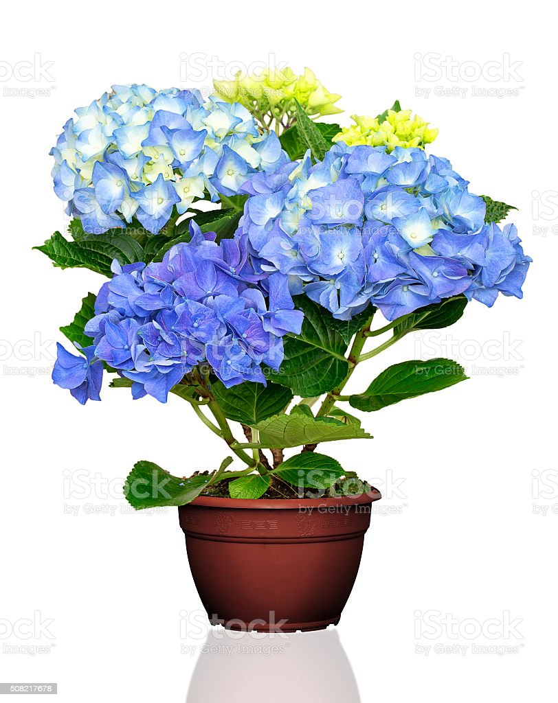 Hydrangea flower in pot stock photo