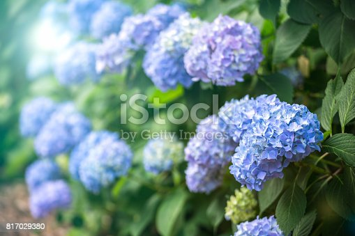 Hydrangea Flower known as the sign of rainy season coming in Japan