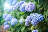 アジサイの花の雨の季節、日本