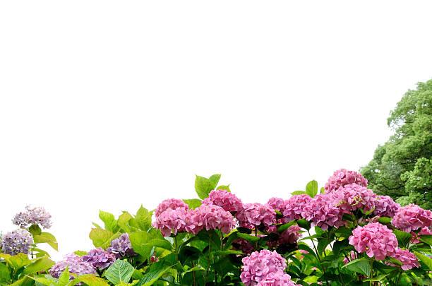アジサイの花の背景に白色 ストックフォト