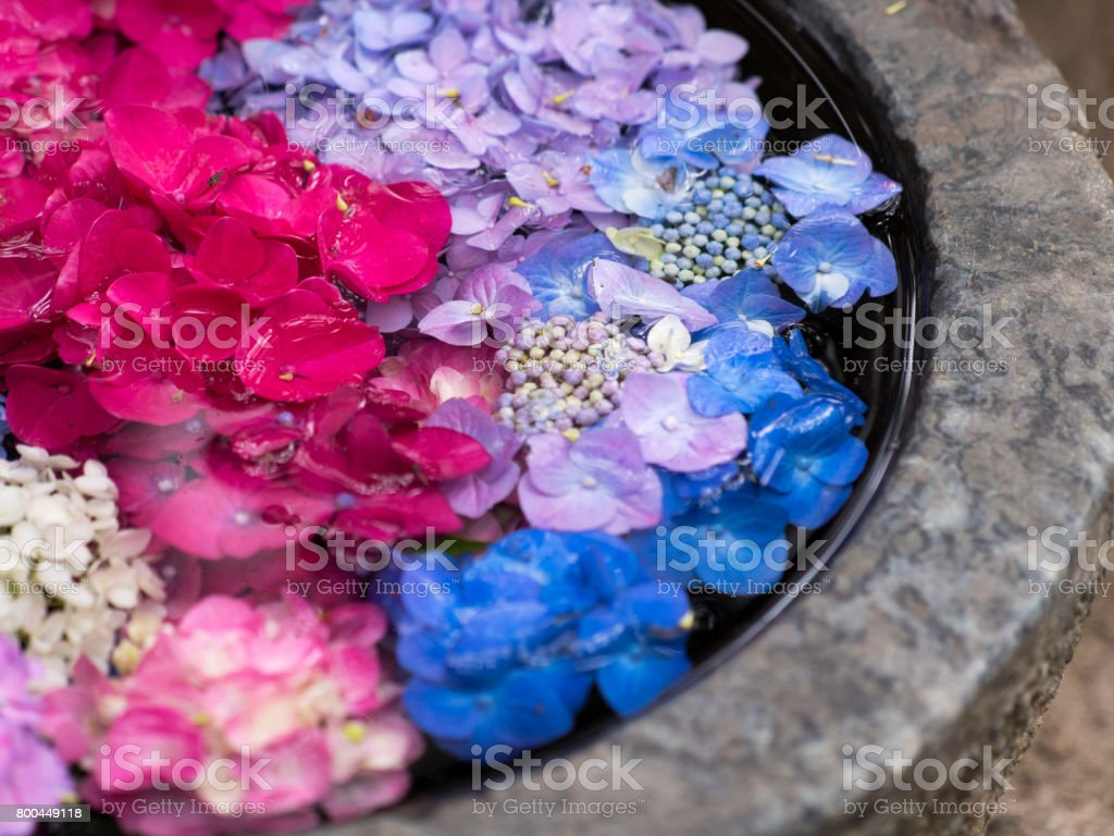 Hydrangea flower petals floating in the water. Japanese style flower...