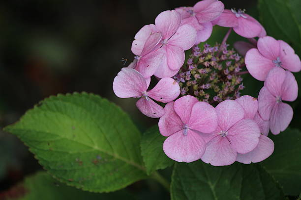 Hydrangea flower stock photo
