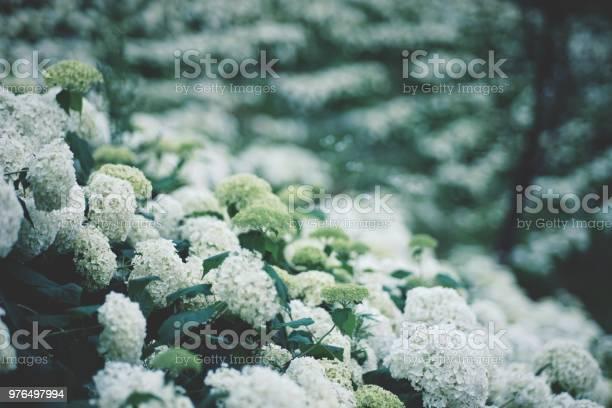 Photo of Hydrangea flower