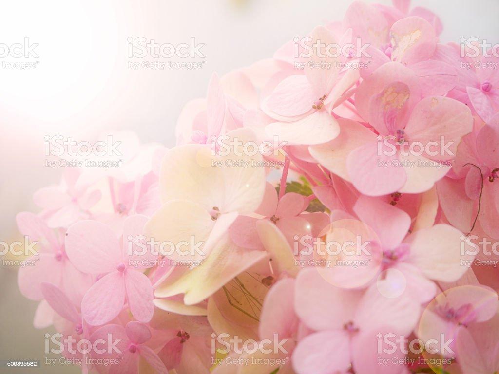 Hydrangea flower soft and blurrde background stock photo
