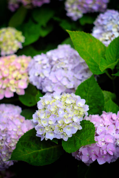 Hydrangea flowers at Liming Trail Garden of Taishan District, New Taipei, Taiwan. stock photo