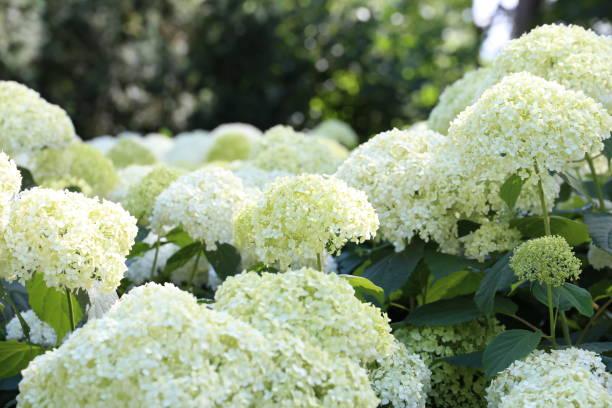 hydrangea flowers in a garden over blurred background. - hortensja zdjęcia i obrazy z banku zdjęć