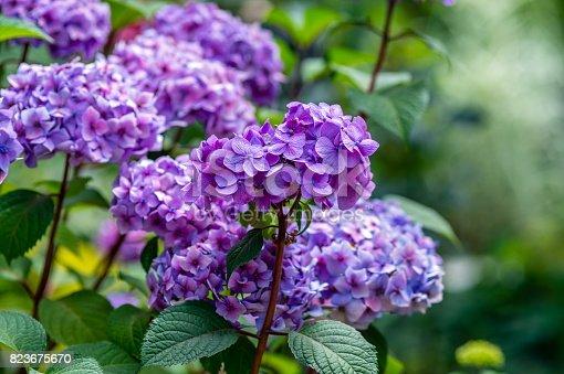 Hydrangea flowers in a garden
