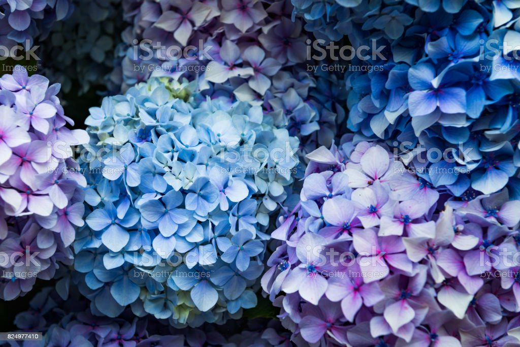 Hydrangea Flowers in the Garden stock photo