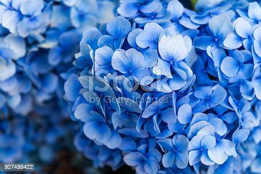 Hydrangea Flowers in the Garden on Sunny Summer Day