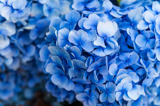 hydrangea flowers in the garden - flowers stock pictures, royalty-free photos & images