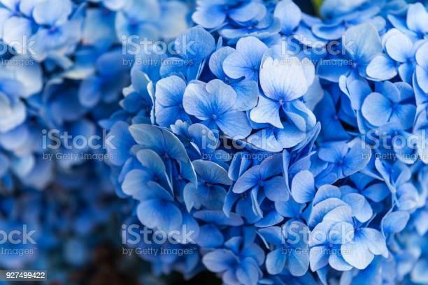 Photo of Hydrangea Flowers in the Garden