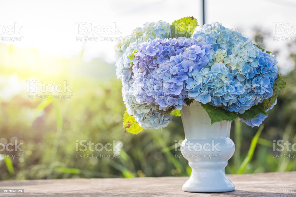 hydrangea flowers in white vase top on wooden table sunlight stock photo