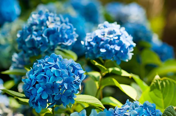 hydrangea flowers - hortensia stockfoto's en -beelden