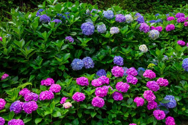 hydrangea flowers - hortensja zdjęcia i obrazy z banku zdjęć
