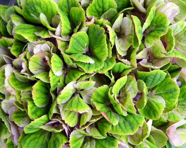 Hydrangea - Green Color stock photo