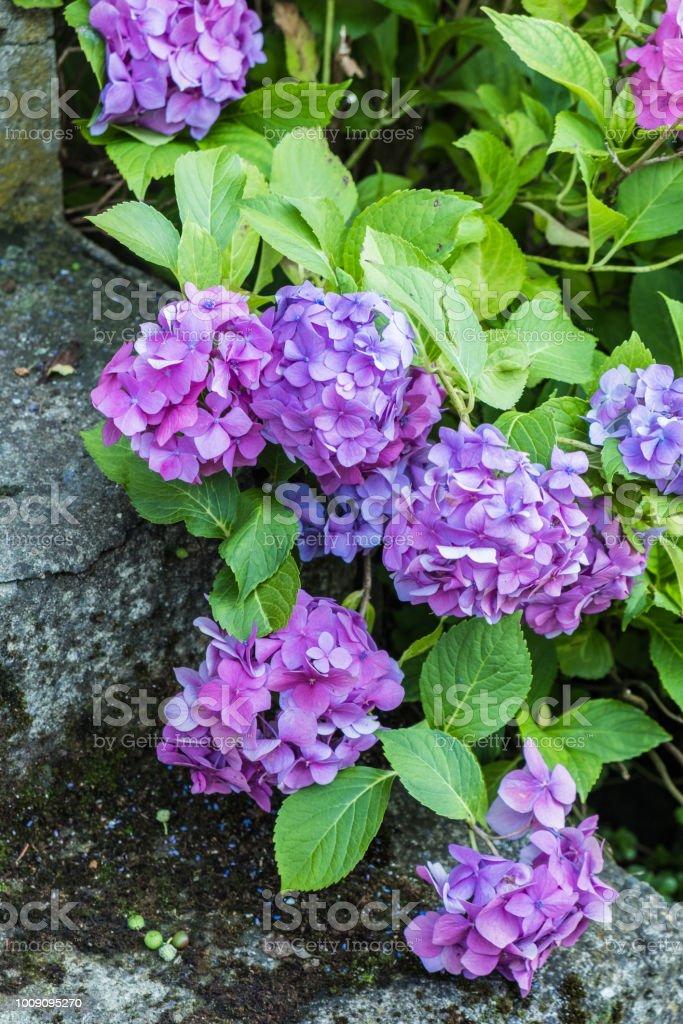 Hydrangea hortensis flowers close up stock photo