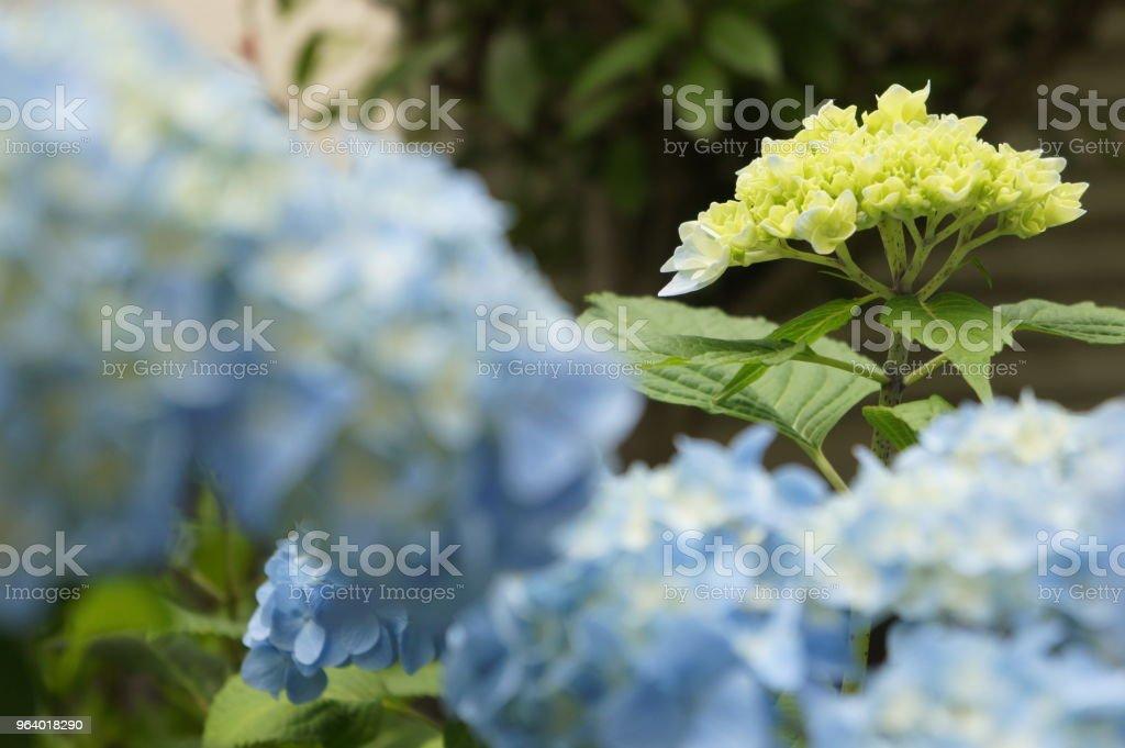 Hydrangea in full bloom - Royalty-free Beauty Stock Photo