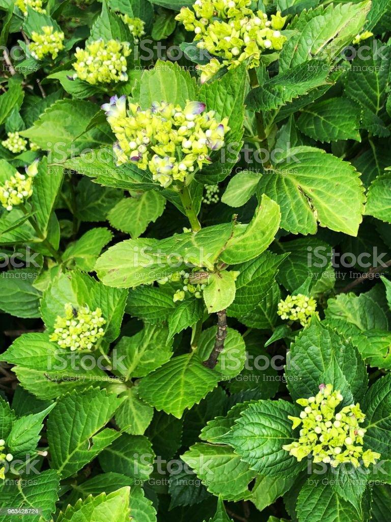 hydrangea in spring with new flowers - Zbiór zdjęć royalty-free (Bez ludzi)