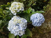 Hydrangea is a flower that expresses softness to the touch and comes in a variety of colors.