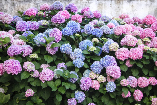Hydrangea is pink, blue, lilac, violet, purple flowers. Bushes are blooming in spring and summer in town garden. stock photo