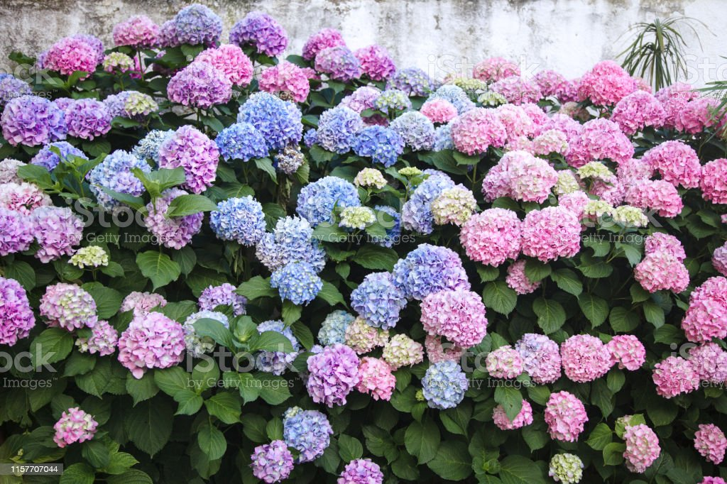 Hydrangea Is Pink Blue Lilac Violet Purple Flowers Bushes Are