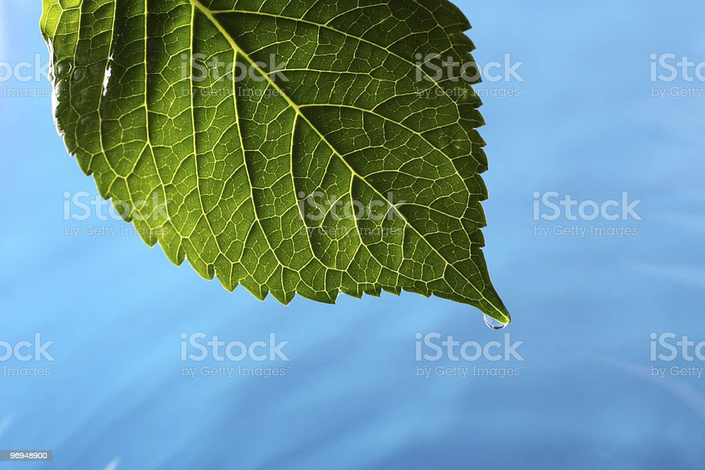 Hydrangea leaf above blue water royalty-free stock photo