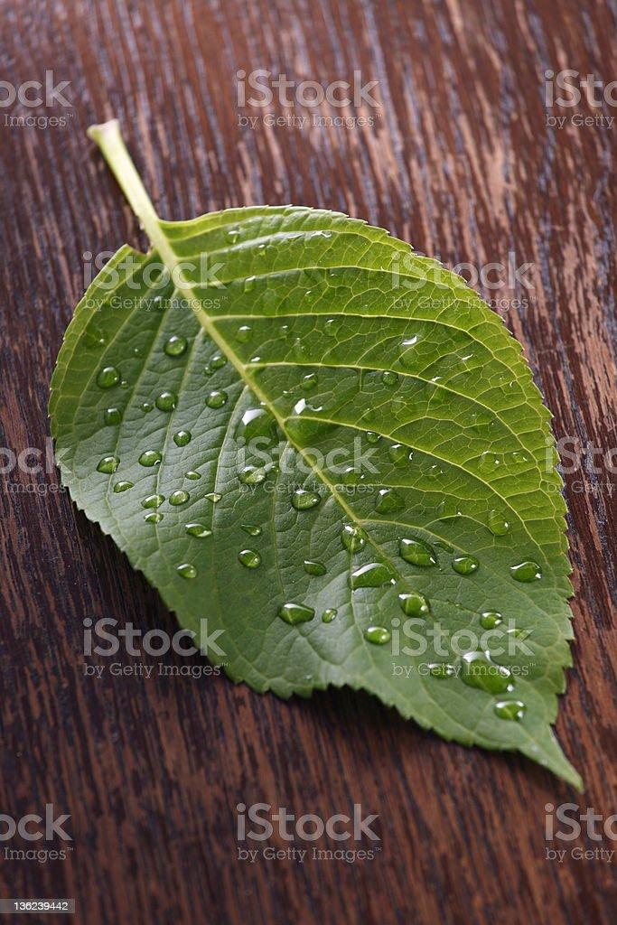 Hydrangea leaf royalty-free stock photo