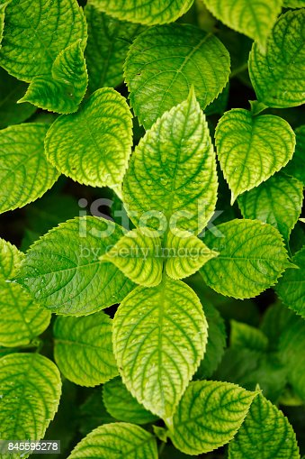 Hydrangea leaves close up
