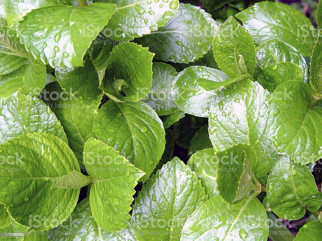 Hydrangea leaves royalty-free stock photo