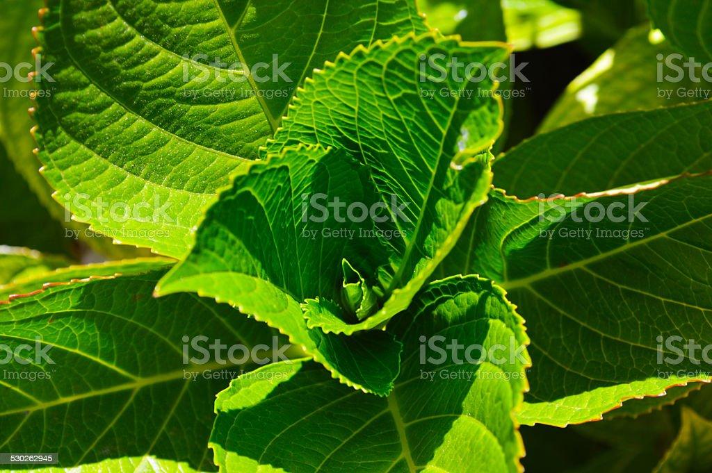 Hydrangea leaves stock photo