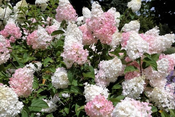hydrangea limelight paniculata bush in summer garden - hortensja zdjęcia i obrazy z banku zdjęć