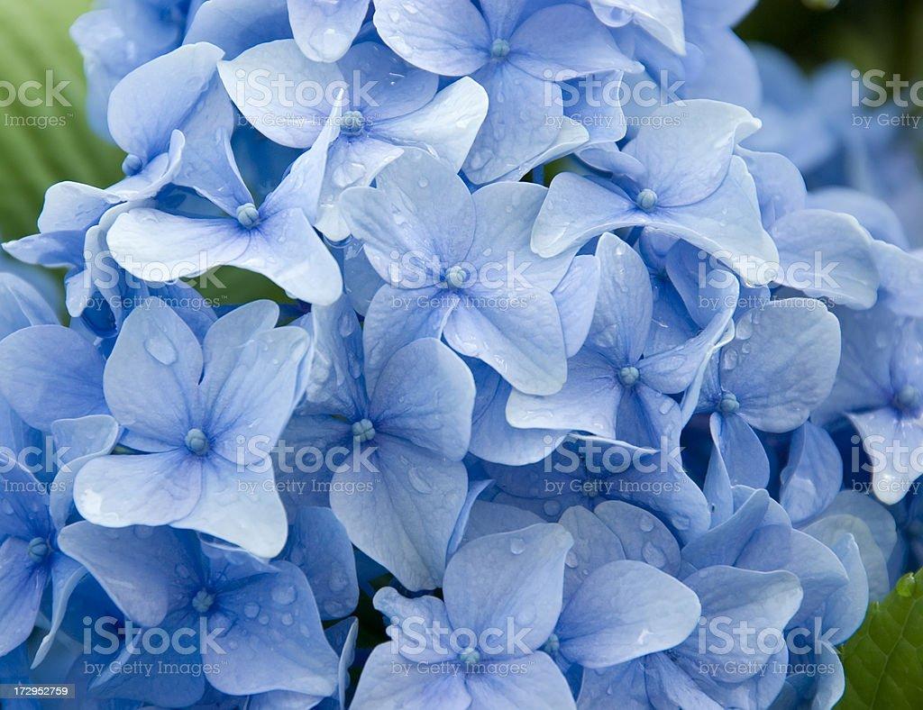 Hydrangea macrophylla (blue) royalty-free stock photo