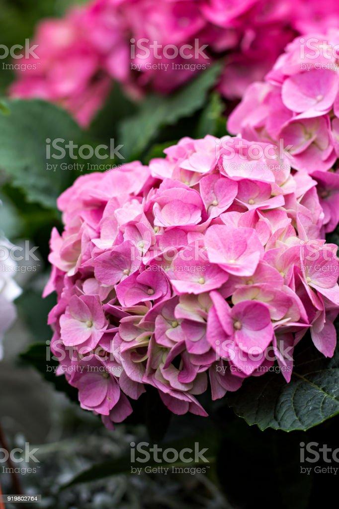 Hydrangea macrophylla stock photo