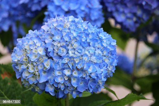 Hydrangea Macrophylla Stock Photo & More Pictures of Beauty