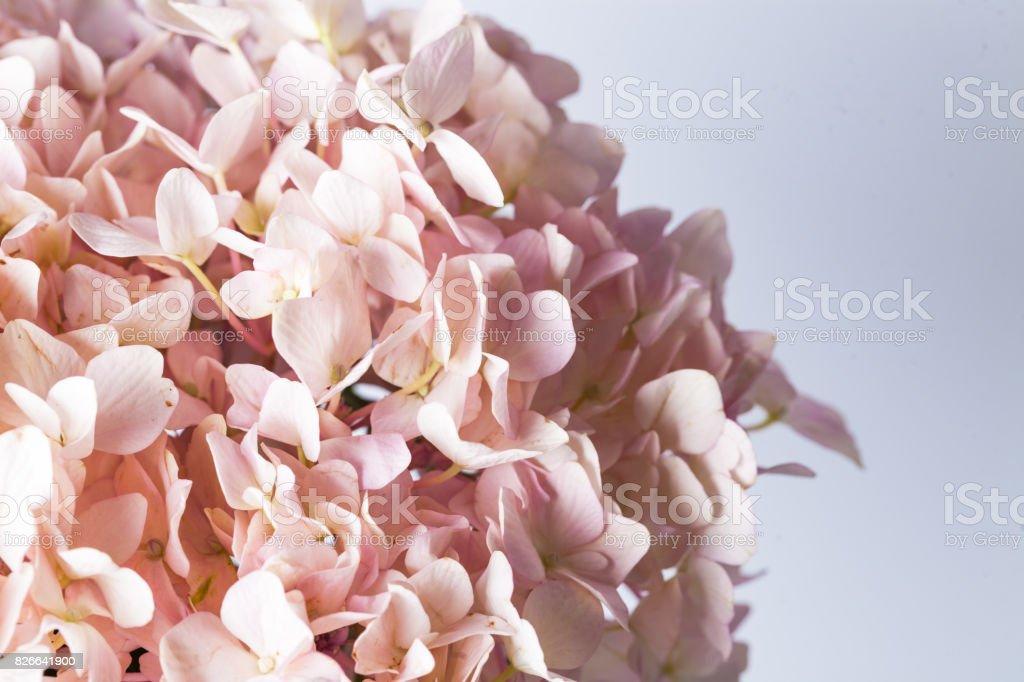 Hydrangea macrophylla with white background stock photo