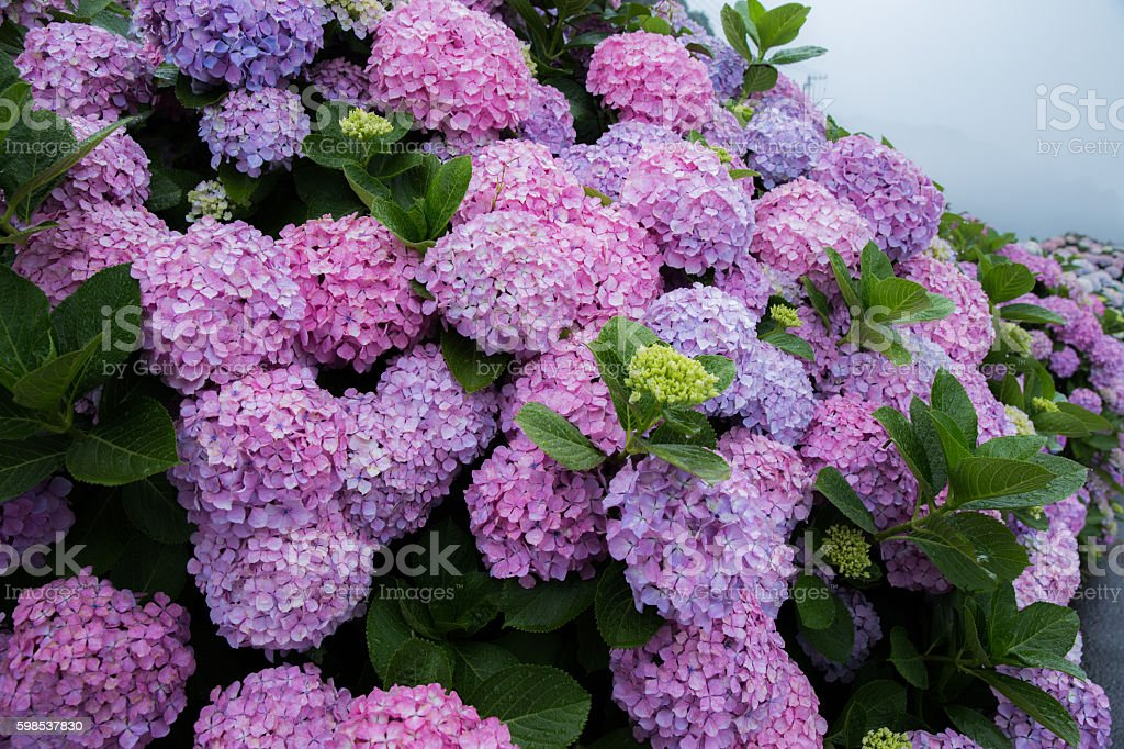 Hydrangea on a rainy day in Japan photo libre de droits