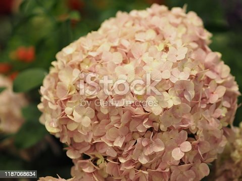 Hydrangea or Ajisai pink flower on blurred of nature background