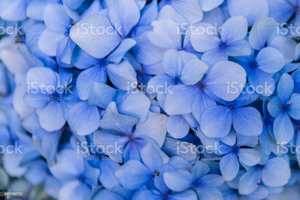 Hydrangea or hortensia stock photo