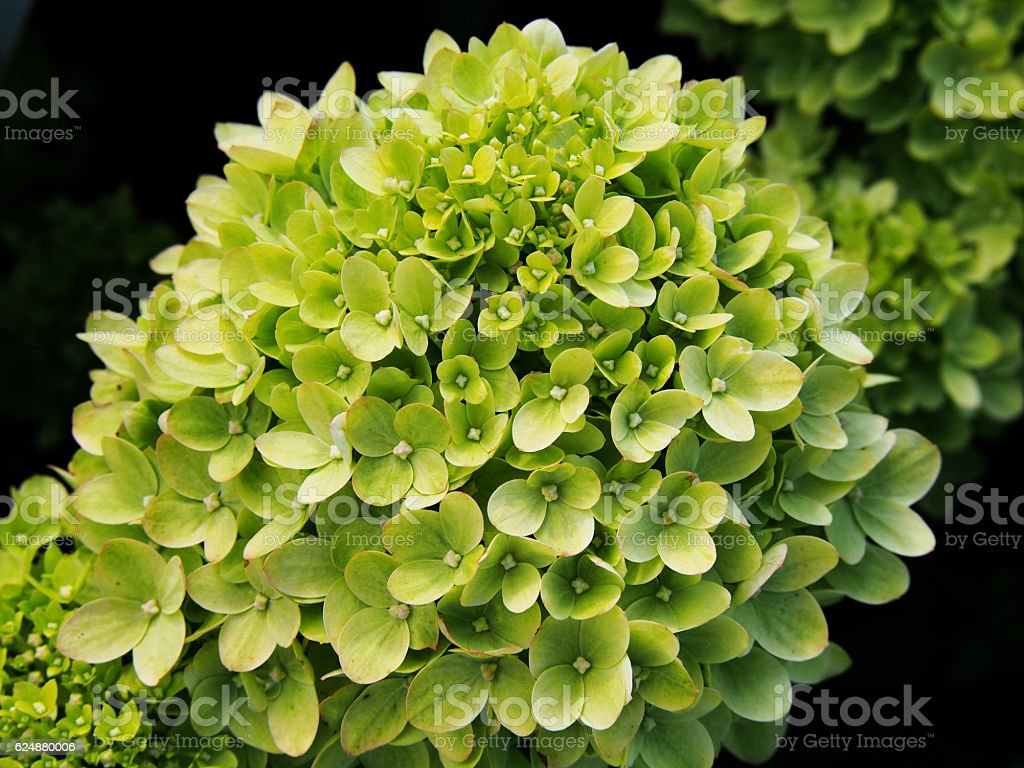 Hydrangea paniculata 'Little Lime' stock photo