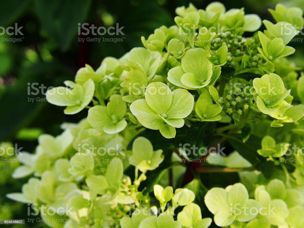 Hydrangea paniculata - panicle hydrangea stock photo