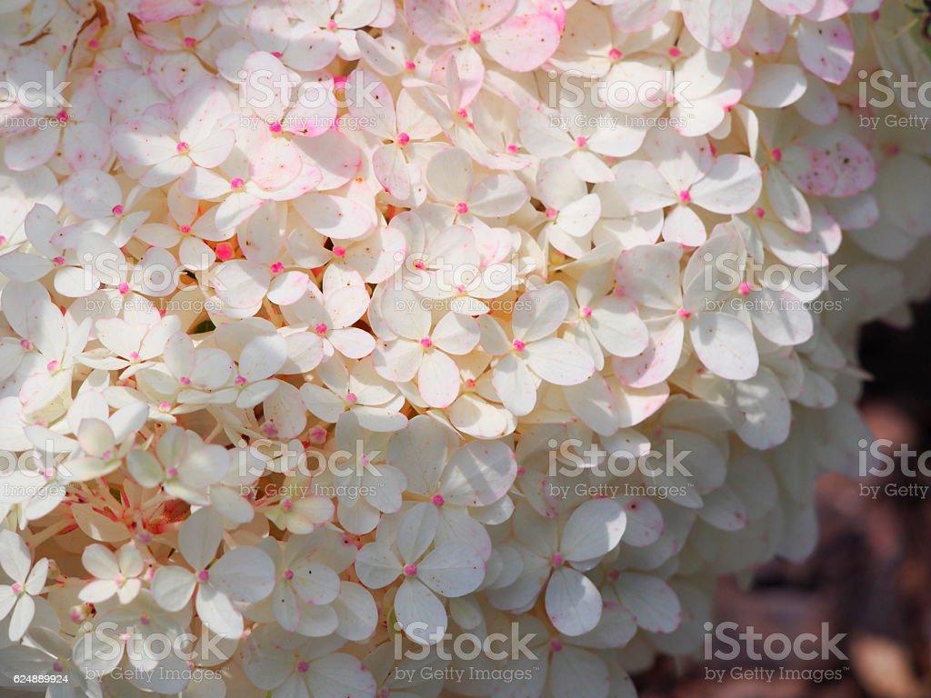 Hydrangea paniculata 'Renhy' 'Vanille Fraise' - panicle hydrangea stock photo