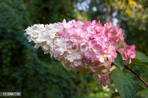 Hydrangea Paniculata Vanille Fraise, pink and white inflorescence close up