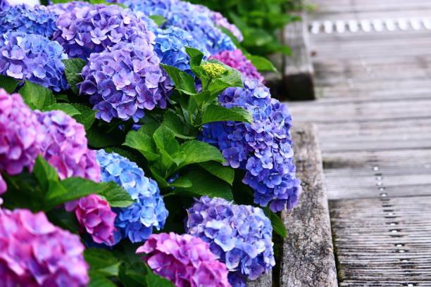 hortensie - regenzeit stock-fotos und bilder