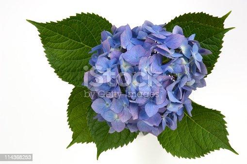 Blue hydrangea on white background