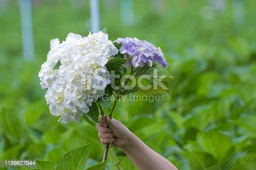 Hydranyea flower in hand.
