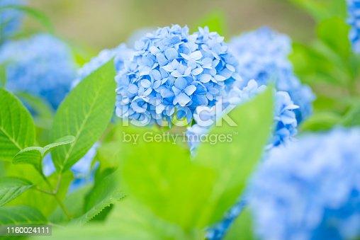 Hydrangea in early summer.