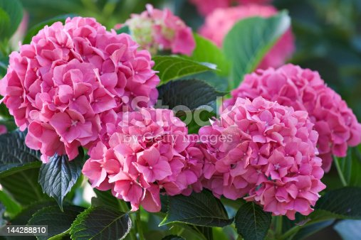 Large deep pink hydrangea blossoms - August summer flower. More images of beautiful flowers and gardens from my portfolio: