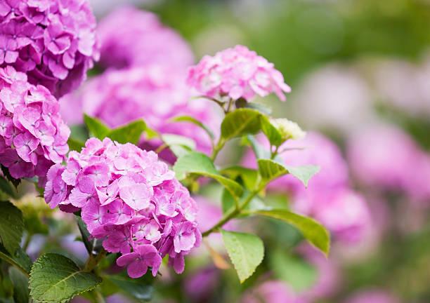 hydrangea - hortensia stockfoto's en -beelden