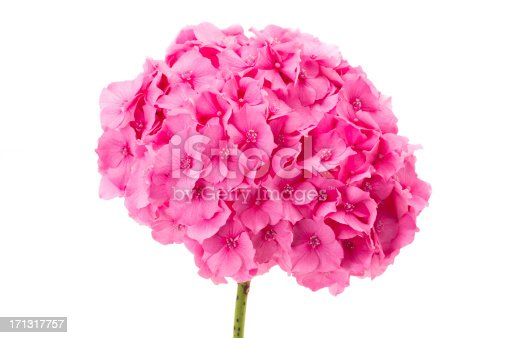 Single flowerhead of a pink hydrangea - studio shot with a white background