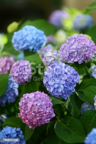 Hydrangea in difference color.